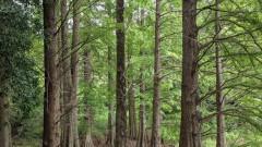 ラクウショウ(落羽松)別名ヌマスギ、アメリカ南部原産で巨木となるそうです。