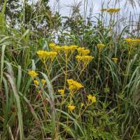 黄色い花が目立つ秋の七草のオミナエシ。